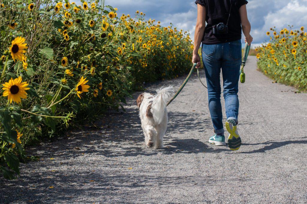 walking dog in field